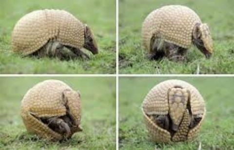 یک جانور عجیب با پوشش زرهی قدرتمند