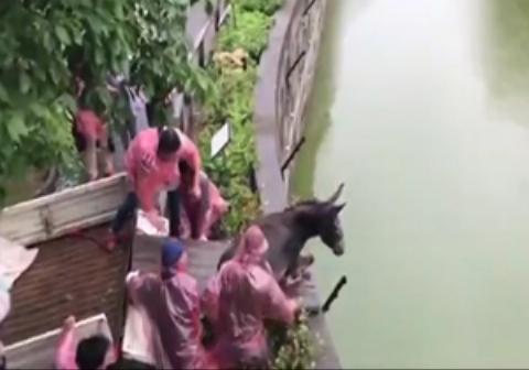 نمایش رذالت انسانها علیه حیوانات/ الاغ زنده غذای ببرهای باغ وحش شد