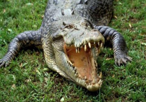 تمساح عصبانی به شکل عجیبی به دوربین یک تصویربردار حمله کرد.