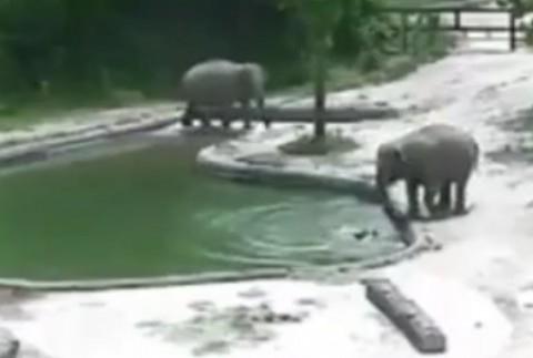 نجات بچه فیل پیش از خفه شدن در آب توسط دو فیل دیگر