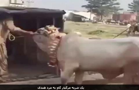 ضربه گاو به مرد روستایی که باعث ایست قلبی و مرگ وی شد