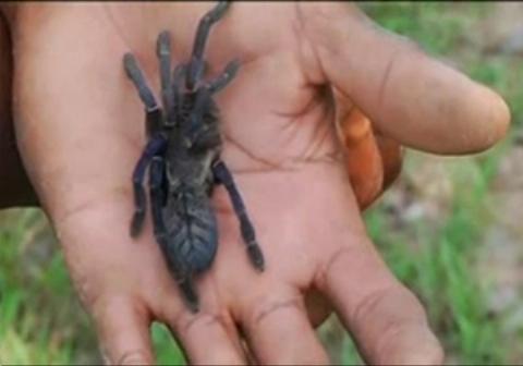 خوردن عنکبوت سرخ شده در کامبوج