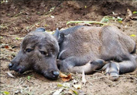 تولد گوساله دو سر در پاکستان