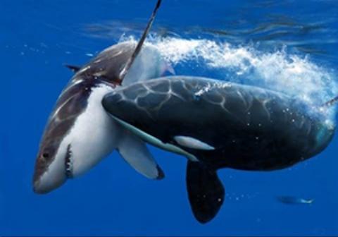 لحظه نادر حمله چند نهنگ قاتل به یک وال