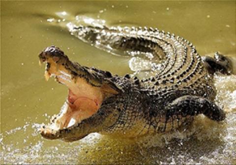 عاقبت تلخ  فرو بردن سر در دهان تمساح