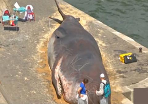 پیدا شدن نهنگ غول پیکر در پاریس همه را شگفتزده کرد