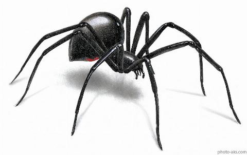 مردی شجاع یک عنکبوت سمی را دستان خود گرفته و با آن بازی میکند.