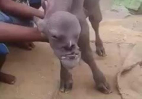 تولد گوسالهای عجیب با چهرهای انسانی!
