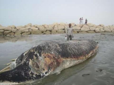 لاشه نهنگ به گل نشسته در سواحل بندر لنگه