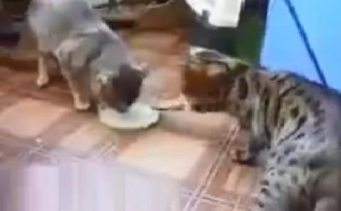 فیلم/ ویدئویی تماشایی از دو گربه که ۳۱میلیون بار دیده شده!
