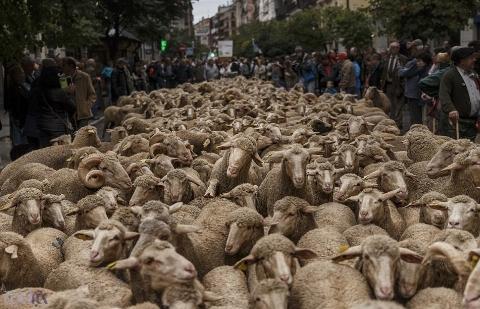 فیلم | جشنواره مهاجرت گوسفندان در خیابانهای مادرید اسپانیا