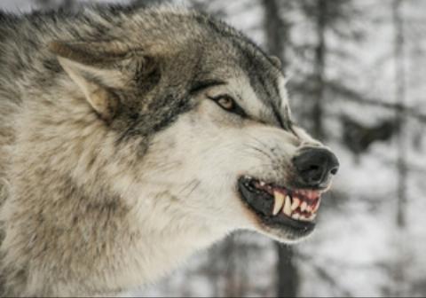 خودخوری دردناک یک گرگ به خاطر گرسنگی + فیلم