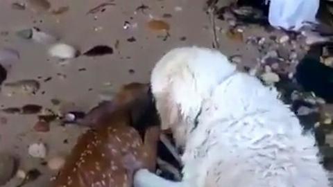تلاش سگ مهربان برای نجات بچه گوزن در دریا + فیلم