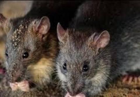 واکنش ها به شایعه موش های آدم خوار +فیلم
