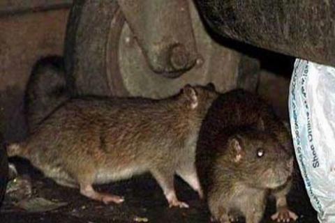 شهر موشها، زیر پوست پایتخت/ ماجرای همزیستی تهرانیها با ۷۰ میلیون موش از شایعه تا واقعیت