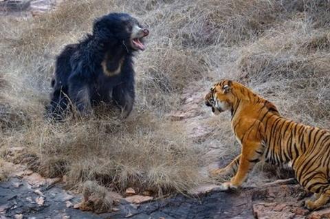 لحظه دیدنی نبرد خونین خرس سیاه با یک ببر + فیلم