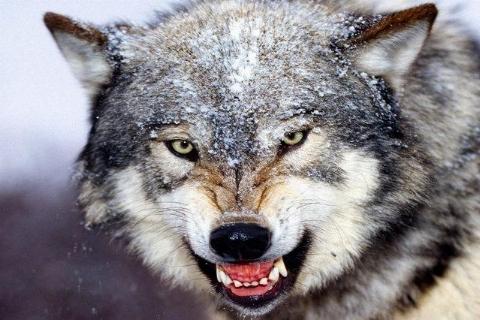 مردی شجاعانه خود را به گرگی گرسنه رساند و آن را نجات داد+فیلم دلهره آور